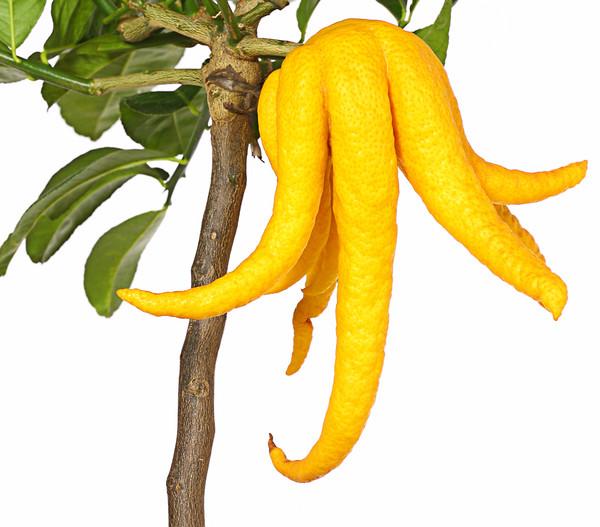 Citrus 'Buddha's Hand'