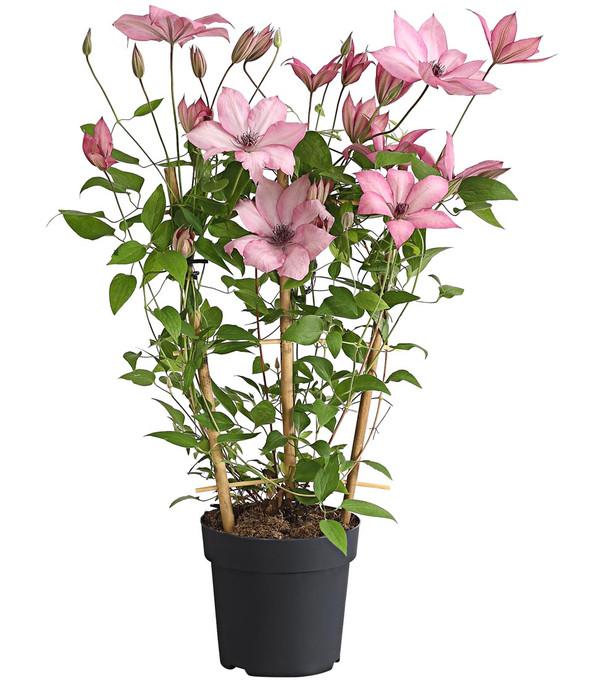 Clematis - Waldrebe, rosa