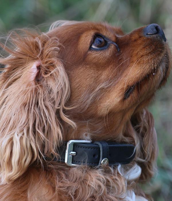 Das Lederband Hundehalsband Basic Weinheim Schwarz