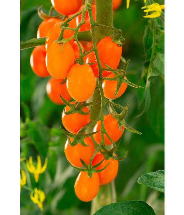 Datteltomate, orange