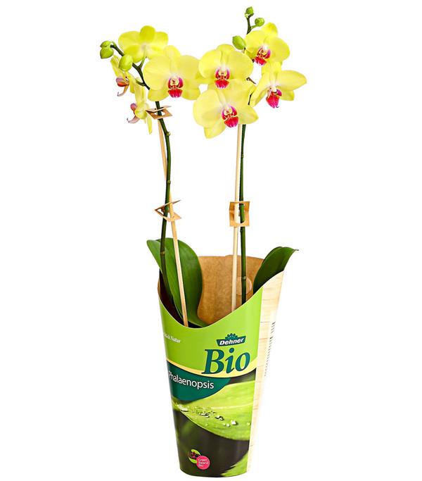 Dehner Bio Schmetterlingsorchidee, verschiedene Sorten