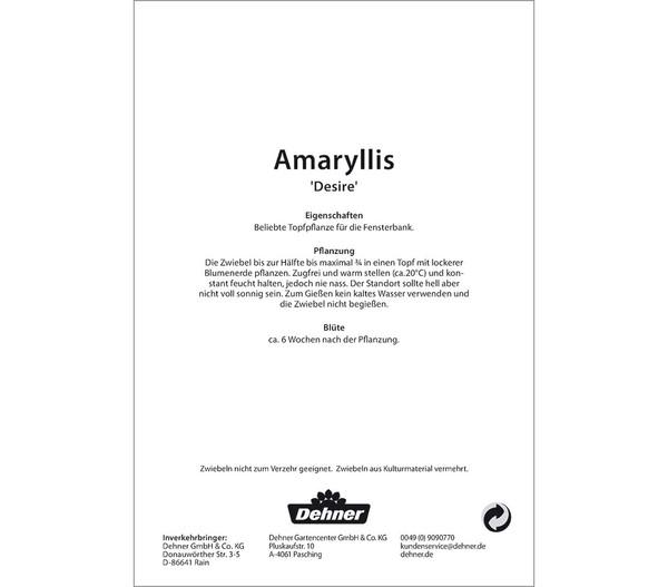 Dehner Blumenzwiebel Amaryllis 'Desire'