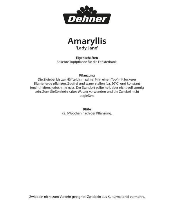 Dehner Blumenzwiebel Amaryllis 'Lady Jane'