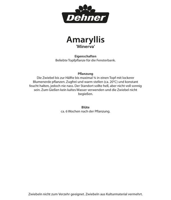 Dehner Blumenzwiebel Amaryllis 'Minerva'