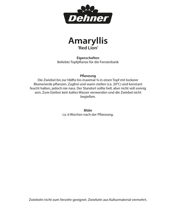 Dehner Blumenzwiebel Amaryllis 'Red Lion'