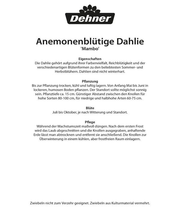 Dehner Blumenzwiebel Anemonenblütige Dahlie 'Mambo'