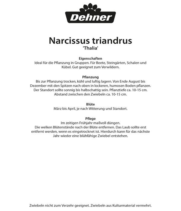 Dehner Blumenzwiebel Botanische Narzisse 'Thalia'