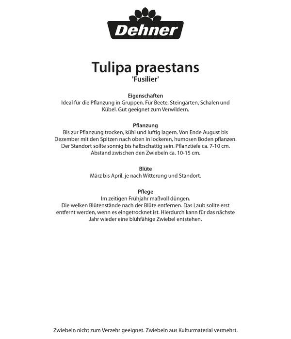 Dehner Blumenzwiebel Botanische Tulpe 'Fusilier'