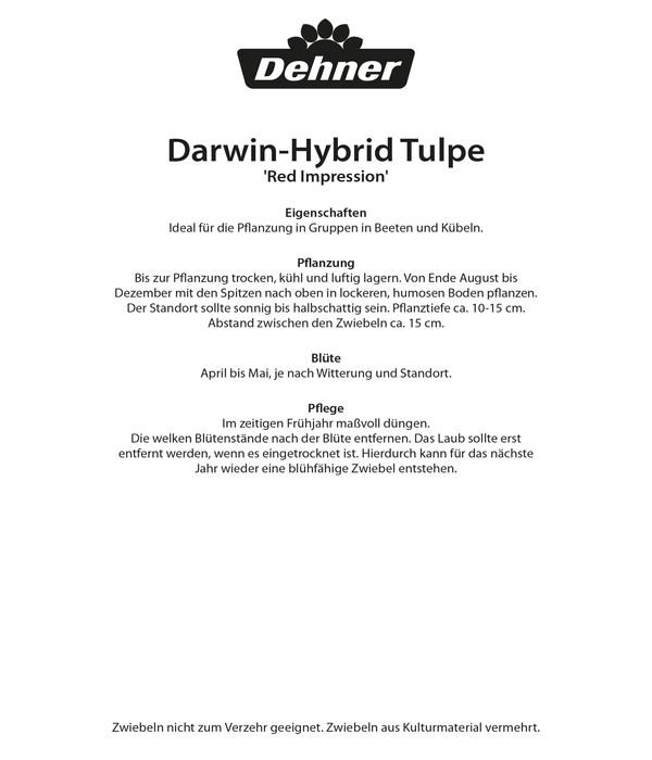 Dehner Blumenzwiebel Darwin-Hybrid Tulpe 'Red Impression'