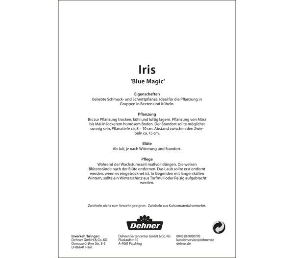 Dehner Blumenzwiebel Iris 'Blue Magic'