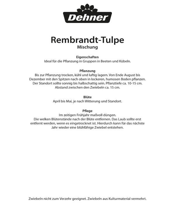 Dehner Blumenzwiebel Rembrandt-Tulpe Mischung