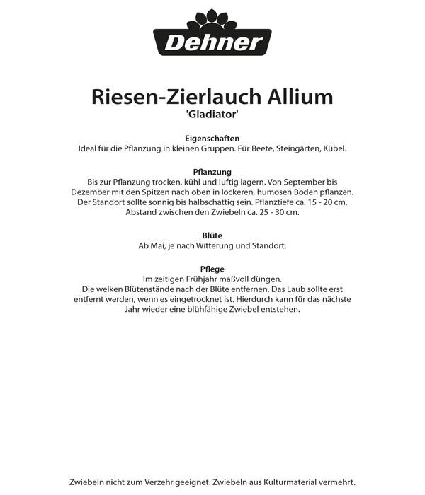 Dehner Blumenzwiebel Riesen-Zierlauch Allium 'Gladiator'
