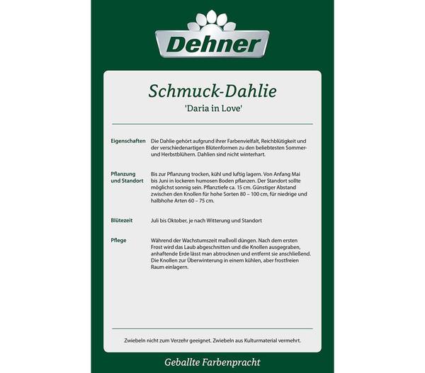 Dehner Blumenzwiebel Schmuck-Dahlie 'Daria in Love'