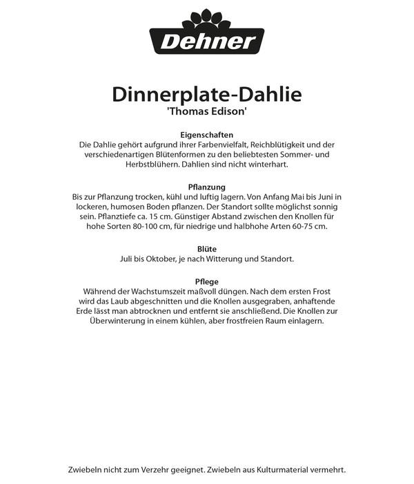 Dehner Blumenzwiebel Schmuck-Dahlie 'Thomas Edison'