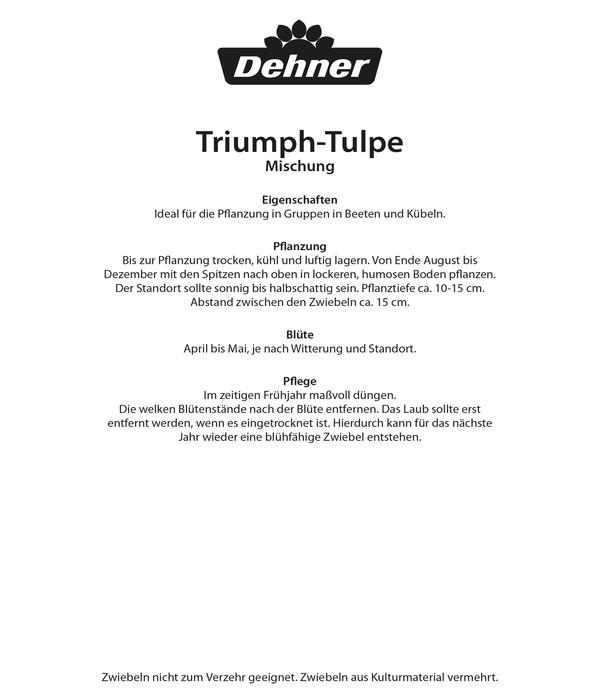 Dehner Blumenzwiebel Triumph-Tulpe Mischung