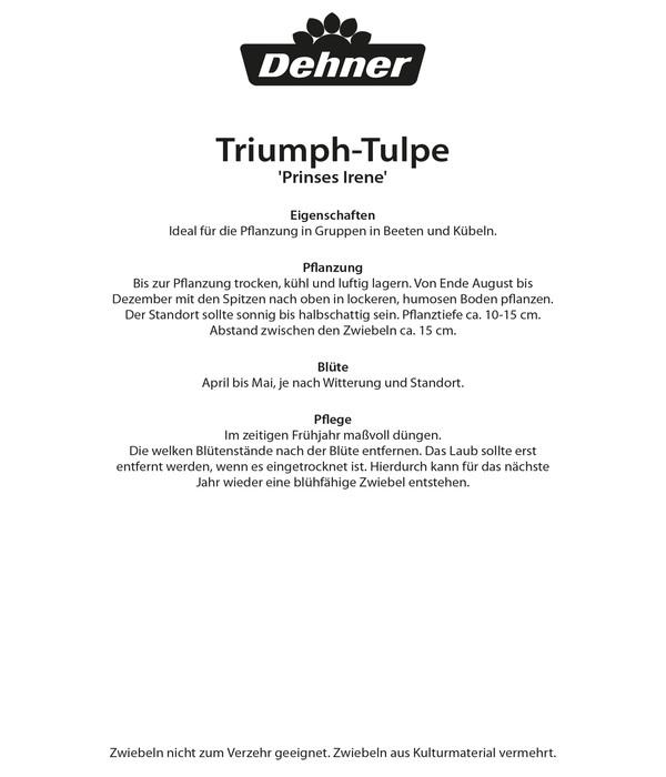 Dehner Blumenzwiebel Triumph-Tulpe 'Prinses Irene'