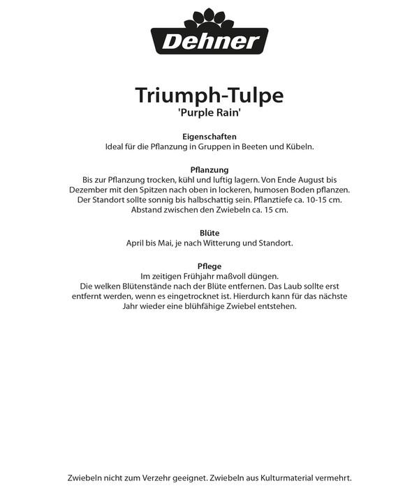 Dehner Blumenzwiebel Triumph-Tulpe 'Purple Rain'