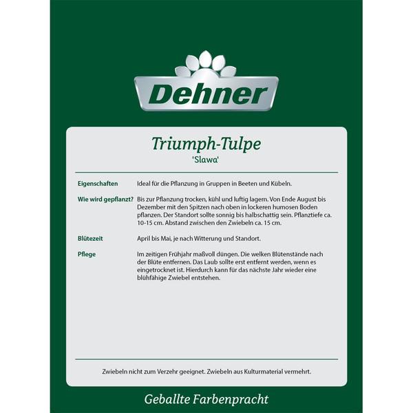 Dehner Blumenzwiebel Triumph-Tulpe 'Slawa'