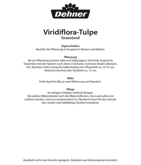 Dehner Blumenzwiebel Viridiflora-Tulpe 'Groenland'