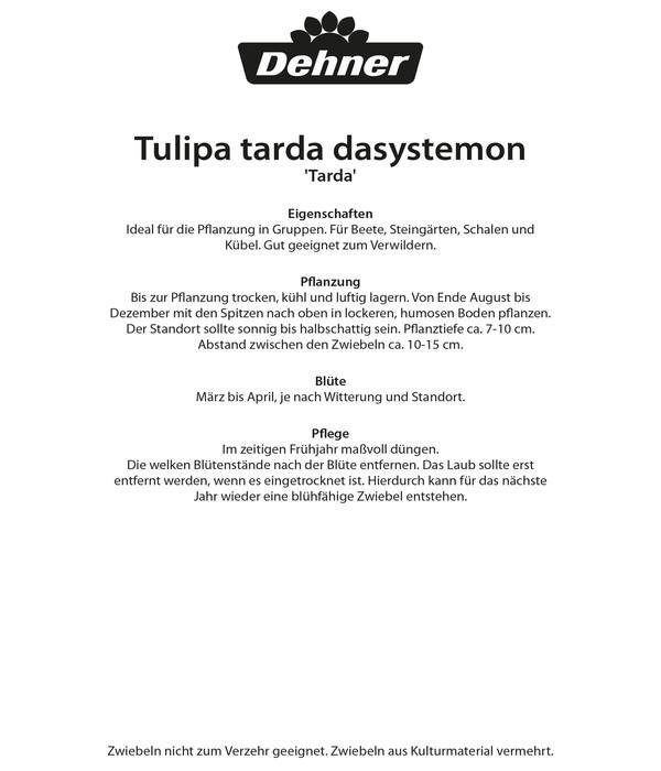Dehner Blumenzwiebel Wildtulpe 'Tarda'