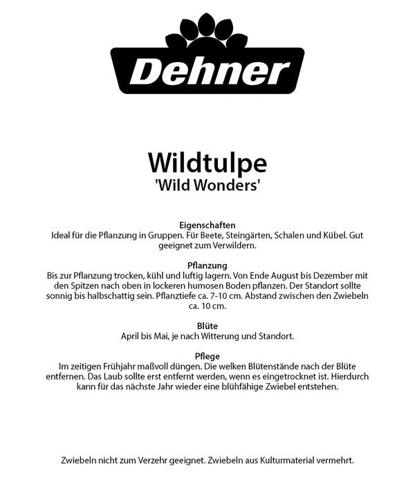 Dehner Blumenzwiebel Wildtulpe 'Wild Wonders'