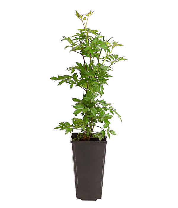 Dehner Brombeere 'Thornless Evergreen'