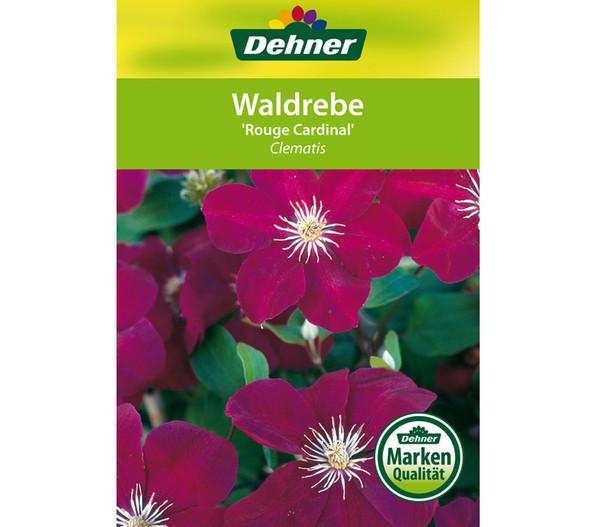 Dehner Clematis 'Rouge Cardinal' - Waldrebe