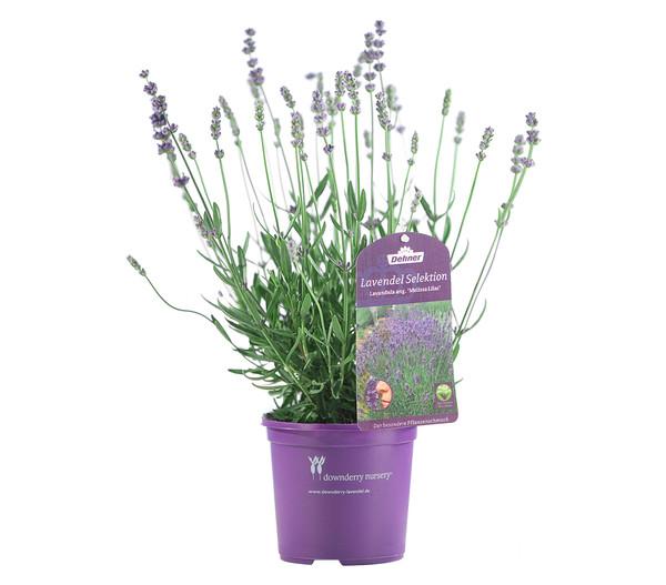 Dehner downderry lavendel 39 melissa lilac 39 dehner - Duftende gartenpflanze ...