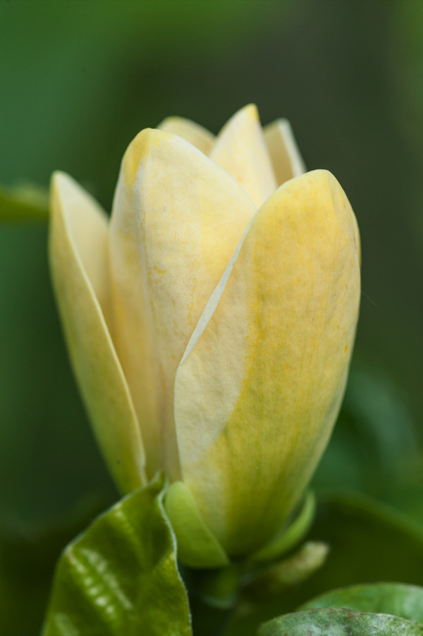 Dehner Duft-Magnolie 'Yellow Bird'