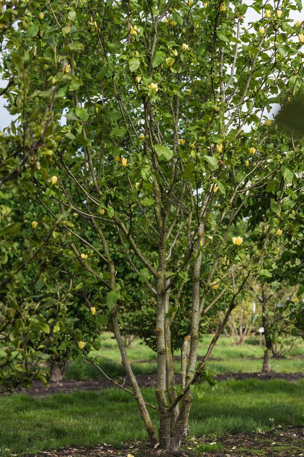 Dehner Duft-Magnolie 'Yellow Bird'