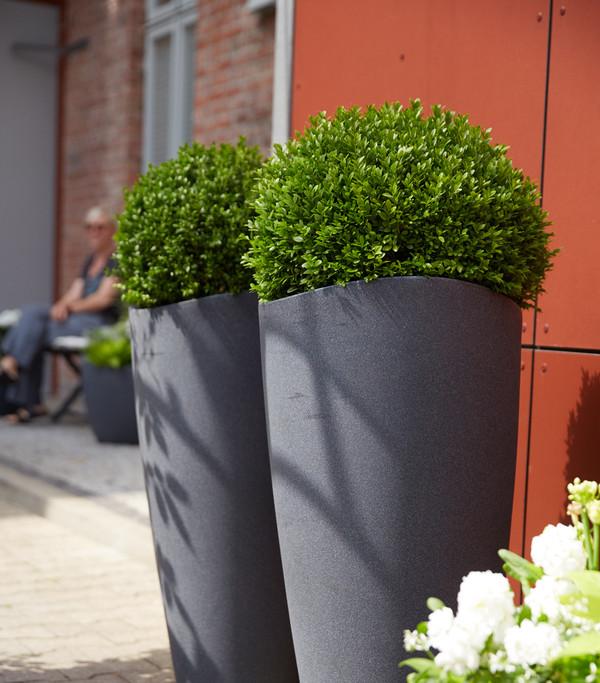 Dehner Gewöhnlicher Buchsbaum - Buchs - Kugel