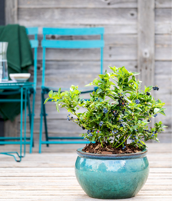 Dehner Gourmet Garten Heidelbeere 'Spartan'