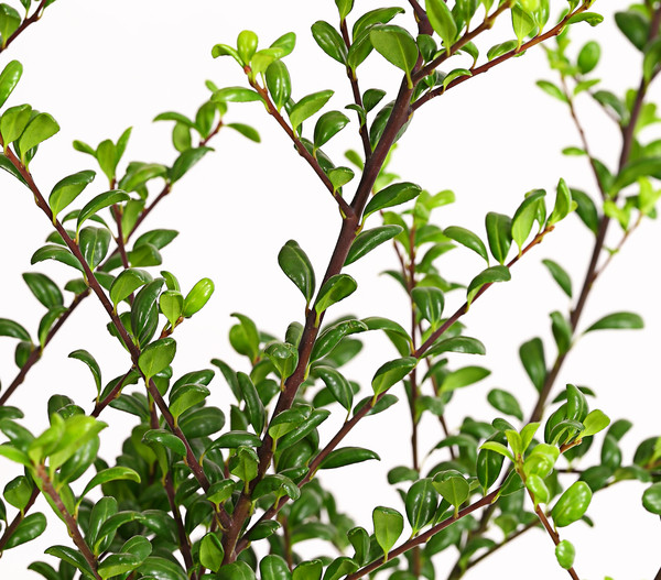 Dehner Japanischer Ilex 'Convexa' - Japanische Stechpalme 'Convexa'