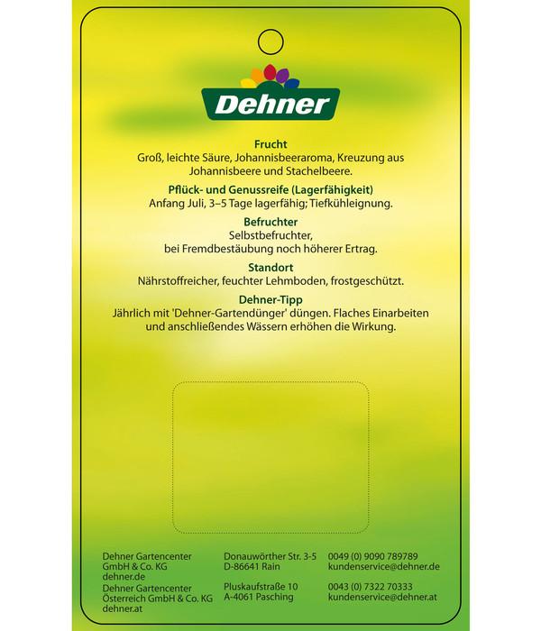 Dehner Jochelbeere - Jostabeere
