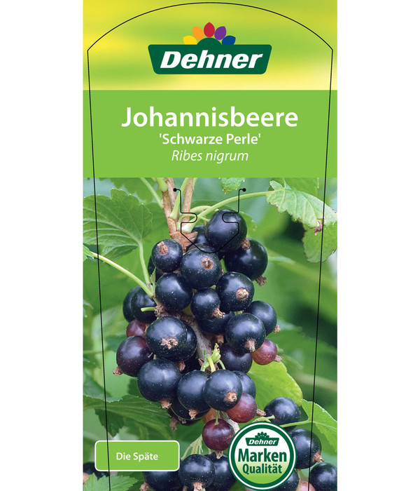 Dehner Johannisbeere 'Schwarze Perle'