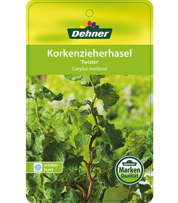 Dehner Korkenzieher-Haselnuss 'Twister'