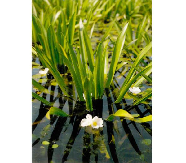 Dehner Krebsschere - Wasseraloe