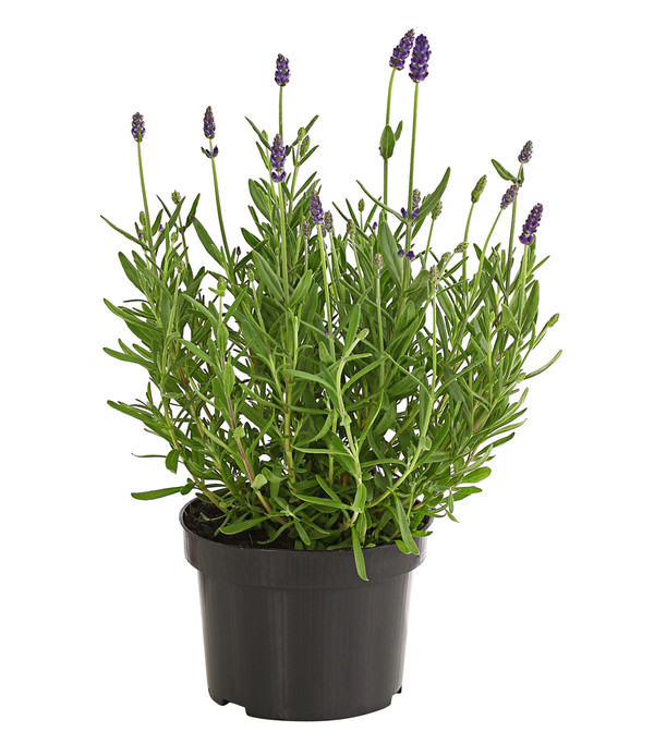 Dehner Lavendel 'Lavance'