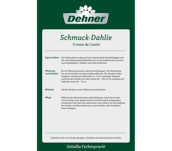 Dehner Premium Blumenzwiebel Dahlie 'Creme de Cassis'
