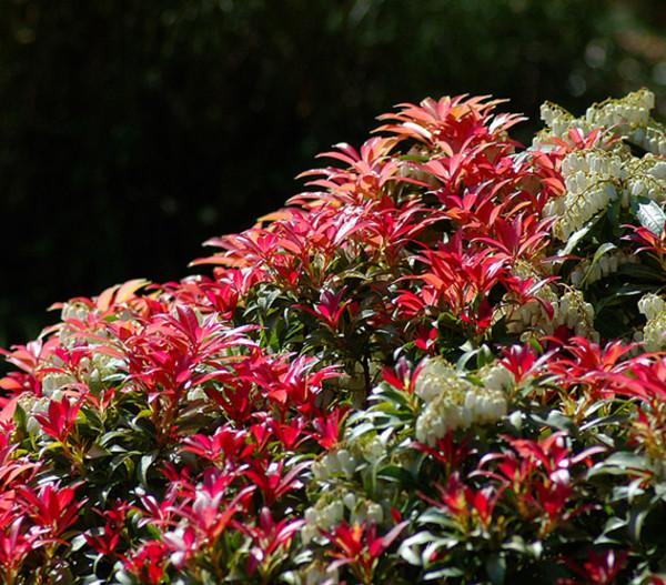 Dehner Schattenglöckchen, Japanische Lavendelheide 'Forest Flame'
