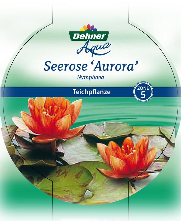 Dehner Seerose 'Aurora'