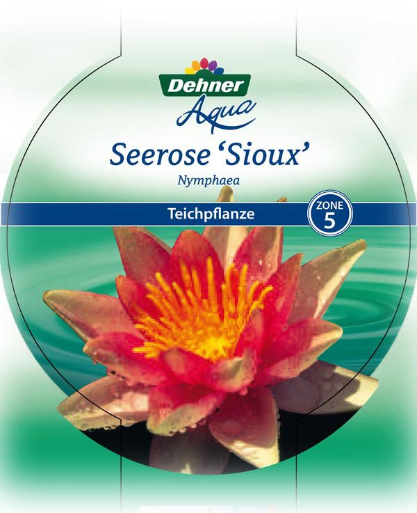 Dehner Seerose 'Sioux'