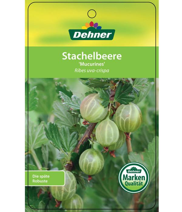 Dehner Stachelbeere 'Mucurines'