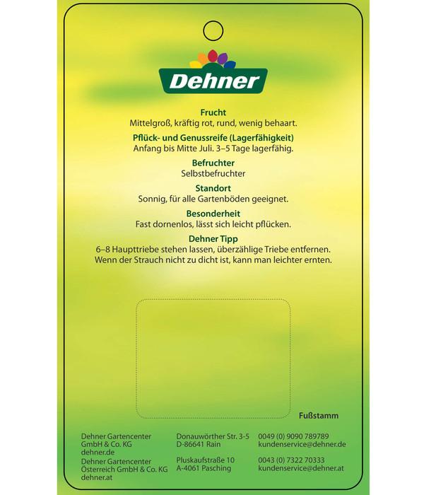 Dehner Stachelbeere 'Spinefree'