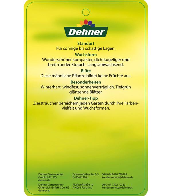 Dehner Stechpalme 'Heckenstar' - Ilex 'Heckenstar'