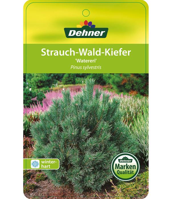 Dehner Strauch-Kiefer 'Watereri' - Silberkiefer 'Watereri'