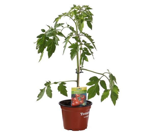 Dehner Tomate, veredelt