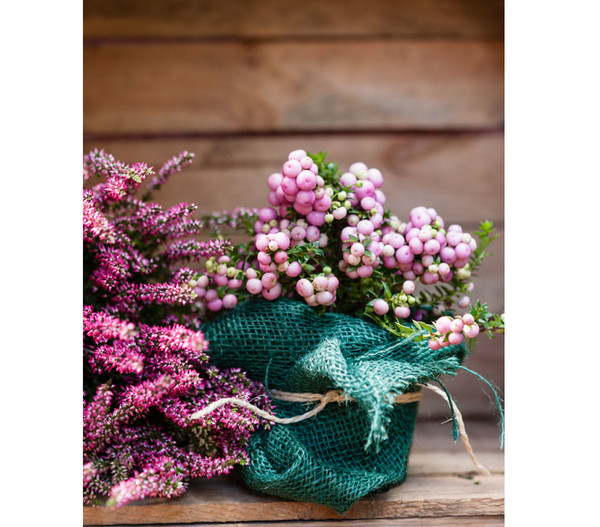 Dehner Torfmyrte, rosa