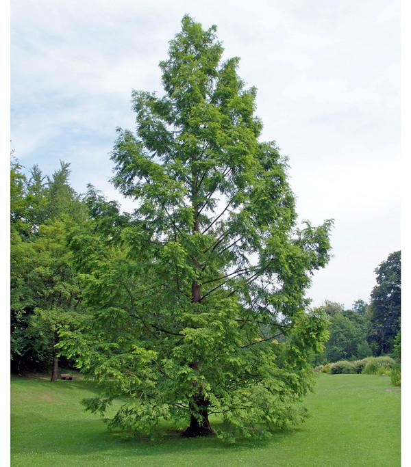 Dehner Urweltmammutbaum - Chinesisches Rotholz
