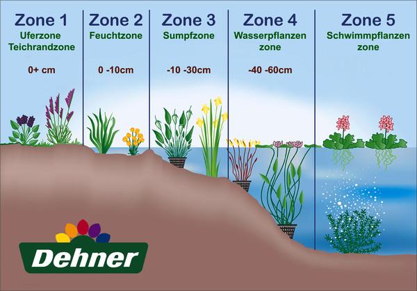 Dehner Wasserpflanzen-Arrangement